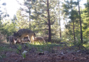 Supes offer direction to CDFW for local wolf plan